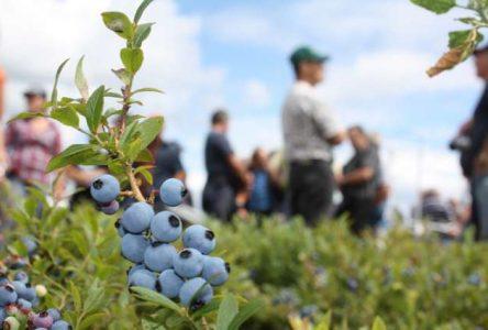 La planification stratégique s'amorce pour l'industrie du bleuet