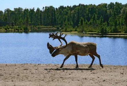La survie du caribou forestier ou de la foresterie