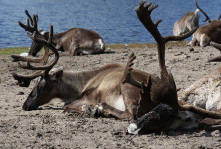 Consultations sur le caribou forestier : Pascal Cloutier entend être un joueur actif