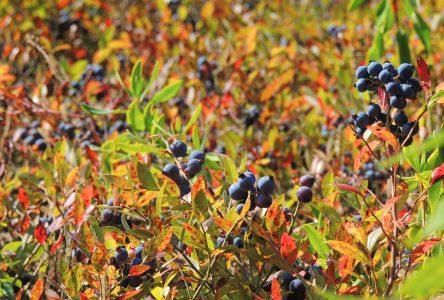Fin de l'aide à la pollinisation pour le bleuet sauvage