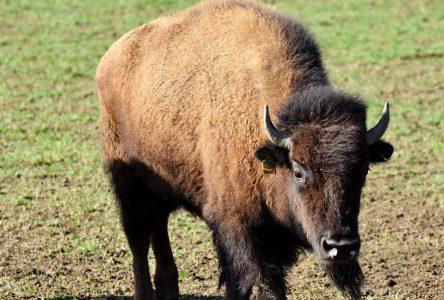 Trois bisons en cavale à Normandin