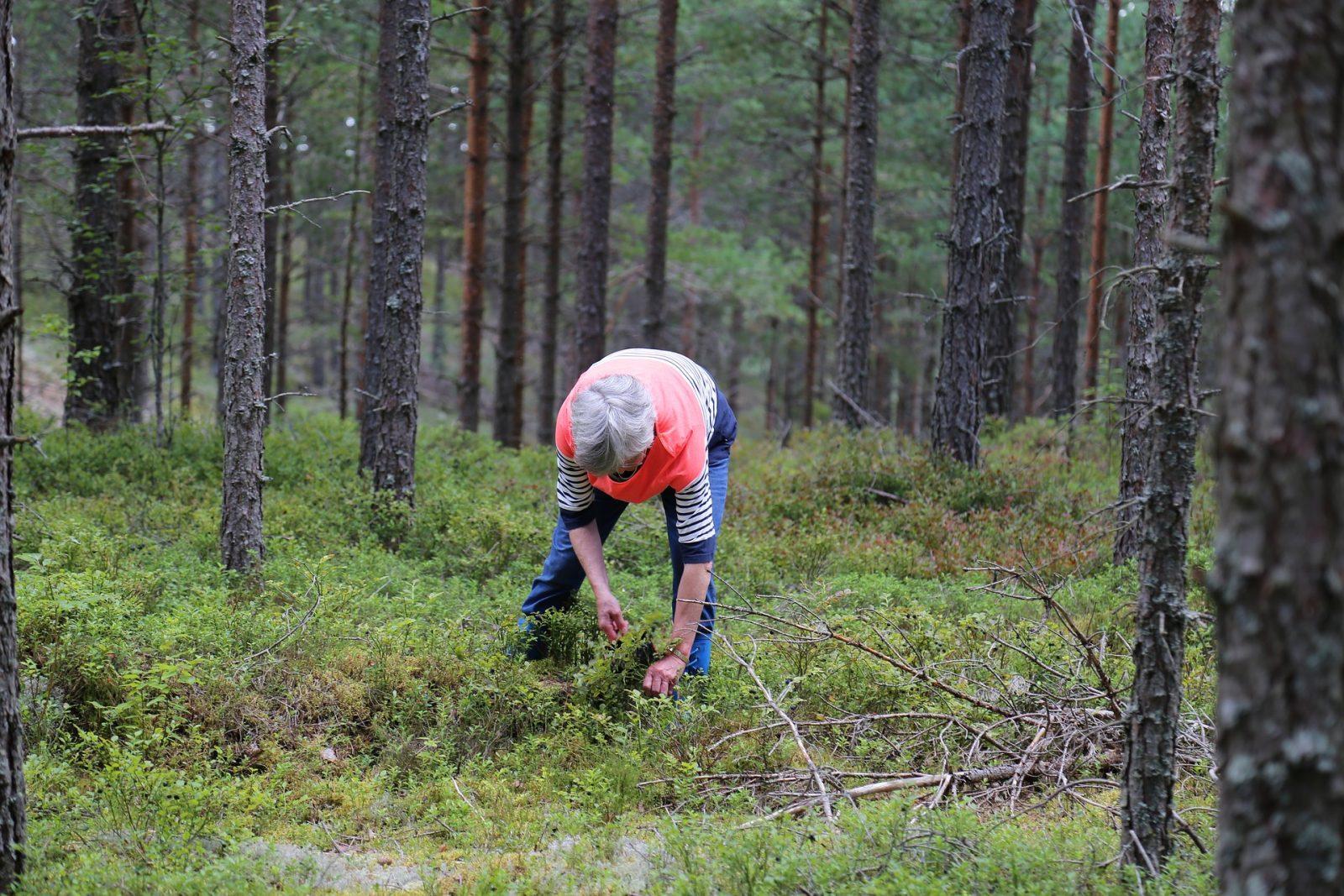 Cueillette de bleuets en forêt: Les cueilleurs de plus en plus rares