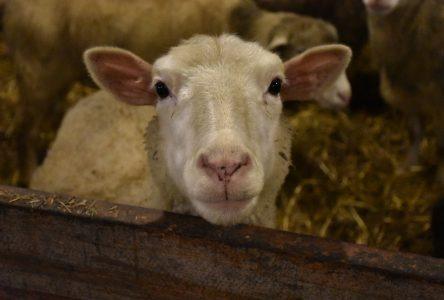Production ovine : un élevage qui a ses avantages
